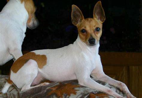 toy fox terrier dogmal