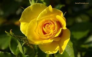 Yellow Rose Wallpapers 20 Free Hd Wallpaper ...