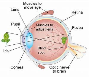 How Vision Works  Our Sense Of Sight