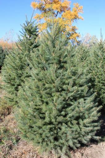 douglas fir christmas tree care covered bridge ranch