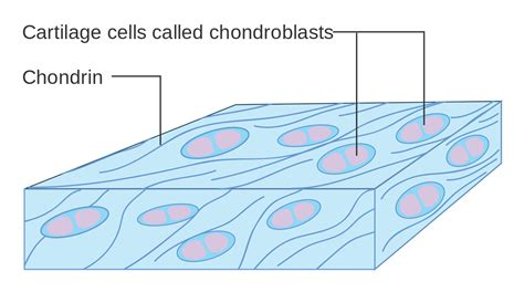 File Diagram Cartilage Cells Called Chondroblasts Cruk