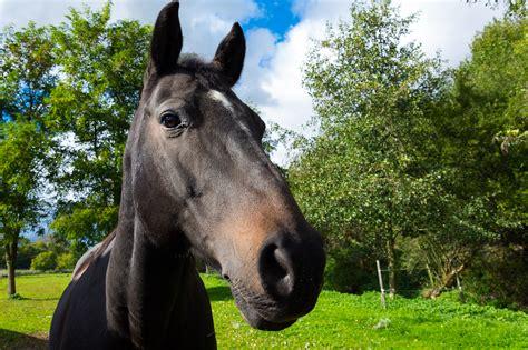 brown horse head  image  libreshot