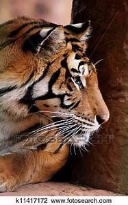 Stock Photo of Tiger Face Side Profile k11417172 - Search ...