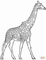 Coloring Giraffe Pages Realistic Animals sketch template
