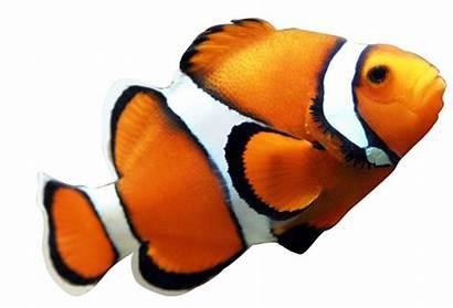 Clownfish Clipart Fish Nemo Wikiclipart