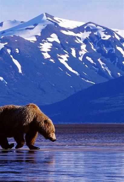 Iphone Alaska Bear Brown Wallpapers 3wallpapers Retina
