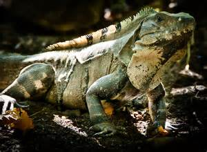 Green Iguana as Pets