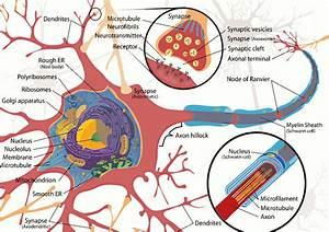 Modeling Neuron Electrokinetics Using Markov Models