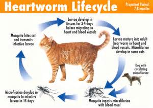 heartworms in cats lakewood animal hospital veterinarian in morris il usa
