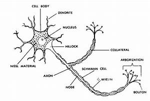 What Is The Structure Of A Nerve Cell