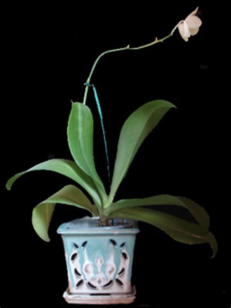 caring for phalaenopsis orchids after flowering how to care for a phalaenopsis orchid