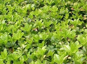 Bodendecker Blaue Blüten : laubschlucker acht bodendecker machen falllaub unsichtbar ~ Frokenaadalensverden.com Haus und Dekorationen