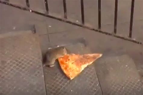 video rat drags entire slice  pizza  subway stairs
