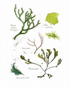 Botanical Print of some common seaweeds and algae of the ...
