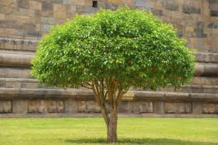 how to turn a shrub into a small tree trimming large bushes into small trees