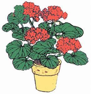 Geraniums clipart - Clipground