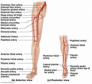 Arteries Of Leg Anatomy