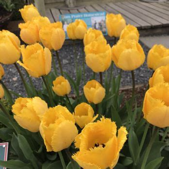 skagit valley bulb farm tulip town 310 photos 53