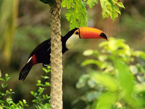 amazing toucan bird toucans facts  information