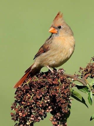 pyrrhuloxia identification all about birds cornell lab