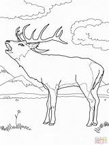 Elk Coloring Bull Printable Getdrawings Getcolorings sketch template