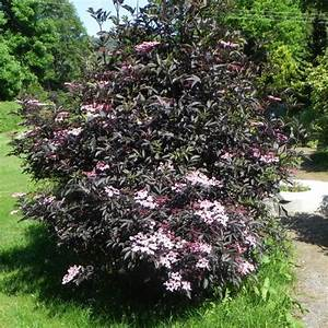 Holunder Black Beauty : sambucus nigra black beauty zahradnictv erven ~ Frokenaadalensverden.com Haus und Dekorationen