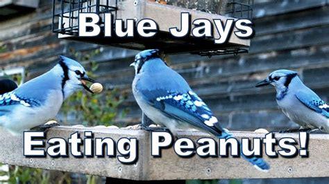bird house blue jays in shell peanuts
