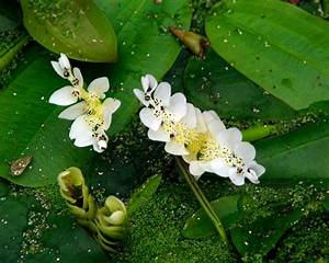 Gardensonline  Aponogeton Distachyos