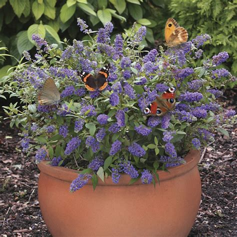 buddleia blue chip 3 pack