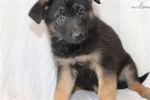 Funny German Shepherd Puppies