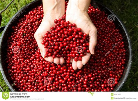 Fresh Photo by Fresh Picked Alaska Cranberries Royalty Free Stock