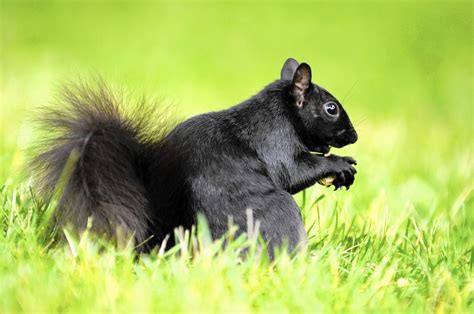 Black squirrel stands out in a sea of gray - Chicago Tribune