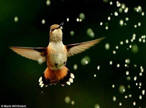 hummingbird family drink from sprinkler in photographer s