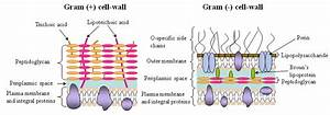 Gram Negative Bacterial Cell Wall Diagram