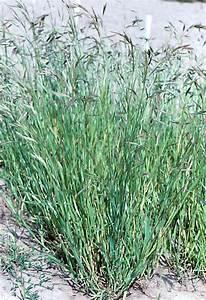 Bromus carinatus , mountain brome