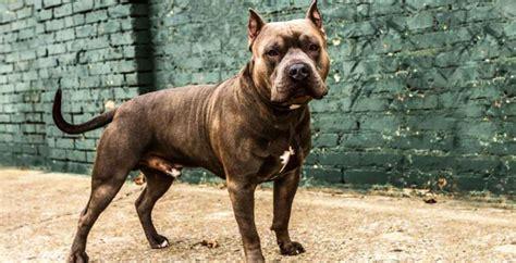 history   american pit bull terrier