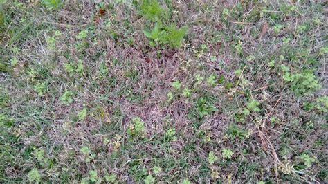 Weeds Bermuda Grass Lawn (fertilizing, Spring, How To