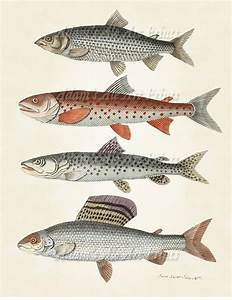 Angler Fish Scientific Illustration