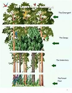 Diagram  Tropical Rainforest Layers Diagram