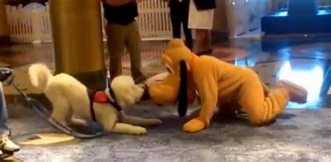 service dog captivated  meeting pluto life  dogs