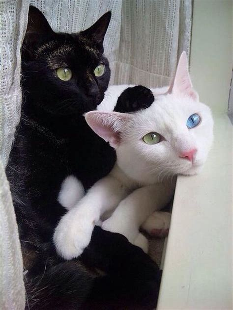 can cats see color or black and white black cat green white cat with blue green
