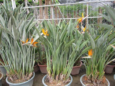 strelitzia reginae in vaso strelitzia reginae strelitzia reginae fornecido por
