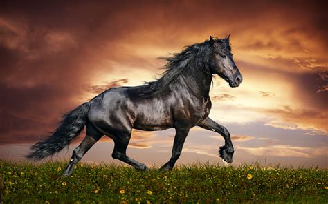 arabian black horse widescreen images high resolution