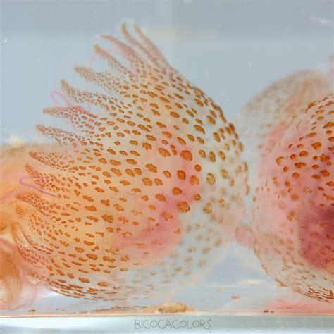 bicocacolors: medusas