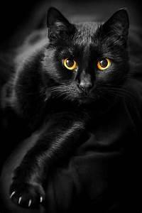 Gatos negros dichos sabios | Rassel una gata de biblioteca