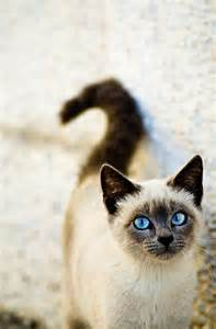 blue eyed cat feline pictures animal pictures and
