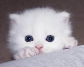 teacup cats white teacup for adoption white teacup
