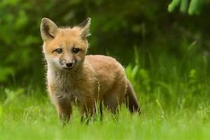 Baby Red Fox - FM Forums