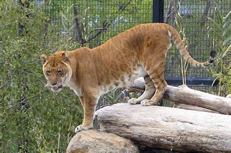 S.c. Liger Named World's Largest Feline