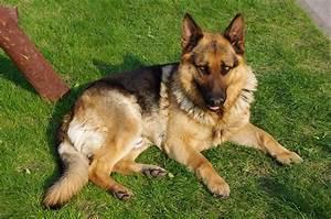 file20110425 german shepherd dog 8505jpg With where to buy german shepherd dog